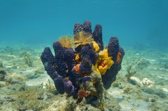 Colorful sea sponge underwater in the Caribbean Royalty Free Stock Photo