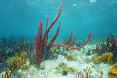 Colorful sea sponges underwater Caribbean sea Royalty Free Stock Photography