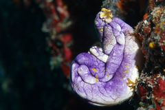 Sea squirt. Colorful sea squirt on the Great Barrier Reef stock photo