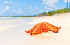 Colorful sea star (starfish) in a tropical beach. With turquoise water Stock Image