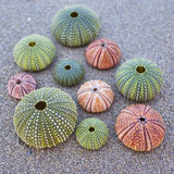 Colorful sea urchins on the beach Stock Images