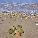 Colorful sea urchins on the beach Royalty Free Stock Images