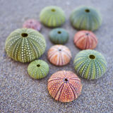 Colorful sea urchins on the beach Royalty Free Stock Photo