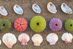 Colorful sea urchins and shells on the beach Royalty Free Stock Photo