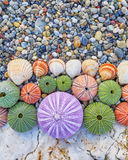 Colorful sea urchins and shells Stock Photo