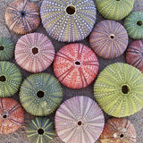 Colorful sea urchins  on wet sand beach. Variety of colorful sea urchins  on wet sand beach Royalty Free Stock Image