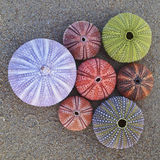 Colorful sea urchins  on wet sand beach. Variety of colorful sea urchins  on wet sand beach Stock Photos