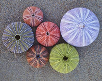 Colorful sea urchins  on wet sand beach Stock Image