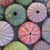 Colorful sea urchins  on wet sand beach Stock Photos