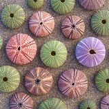 Colorful sea urchins on wet sand Stock Photo