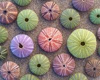 Colorful sea urchins on wet sand Stock Photos