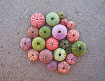Colorful sea urchins on wet sand Stock Image