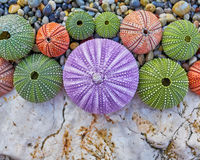 Colorful sea urchins on white rock and pebbles beach Stock Photos