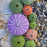 Colorful sea urchins on white rock and pebbles beach Stock Images