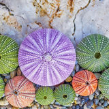 Colorful sea urchins on white rock and pebbles beach Royalty Free Stock Image