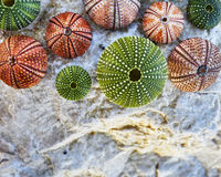 Colorful sea urchins on white wet rock Stock Image