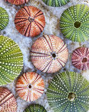 Colorful sea urchins on white wet rock Royalty Free Stock Photos