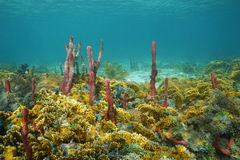 Colorful seabed composed by sea sponges and coral. Underwater landscape, colorful seabed composed by sea sponges and fire coral, Caribbean sea, Central America Royalty Free Stock Images