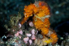 Colorful Seahorse in Lembeh Strait. A colorful Estuarine seahorse, Hippocampus kuda, clings to the seafloor in Lembeh Strait with its prehensile tail. This royalty free stock photography