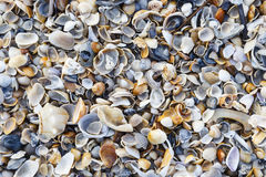 Colorful seashells on the beach in Florida. Royalty Free Stock Images