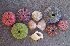 Colorful seaurchins and shells on wet sand beach Stock Photos