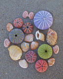 Colorful seaurchins and shells on wet sand beach Stock Photography
