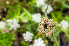 Colorful seed head of a wild carrot from close Stock Photos