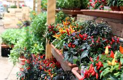 Colorful seedlings of peppers in the nursery stock photography