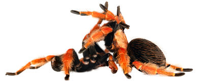 Colorful sex. Mexican Fire Leg Tarantula (Brachypelma boehmei) mating in white royalty free stock photography