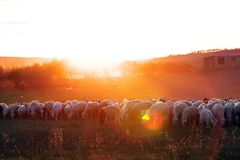 Colorful sheep Stock Photos