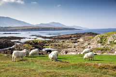 Colorful sheep overlooking coastline Stock Photos