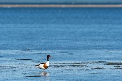Colorful Shelduck standing by the coast Stock Image