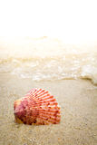 Colorful Shell in the Surf at the Beach Royalty Free Stock Image