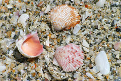 Colorful Shells on Beach. Several colorful shells on a sandy beach royalty free stock photos