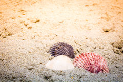 Colorful Shells in Sand at the Beach Royalty Free Stock Image