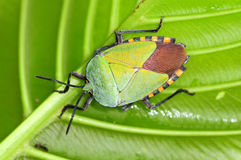 Colorful Shield Bug Royalty Free Stock Photos