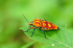 Colorful Shield  Bug Royalty Free Stock Photography