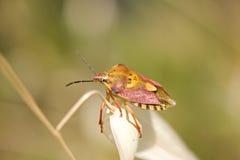Colorful shield bug Royalty Free Stock Image