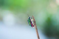 Colorful Shield Bug Stock Photos