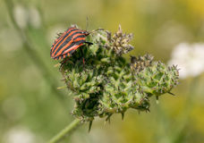 Colorful shield bug on the top of green leaf. Red black insect P Royalty Free Stock Photo