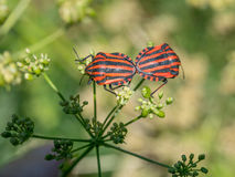Colorful shield bug on the top of green leaf. Red black insect P Royalty Free Stock Images