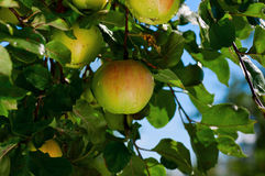 Colorful shot containing a bunch of red apples Royalty Free Stock Photo