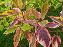 Colorful shrub with leaves. A single shrub with leaves of different colors red green Royalty Free Stock Photography