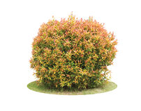 Colorful Shrub Of Pigeon Berry Tree Stock Photography