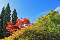 A colorful shrubs with red leaves Stock Photography