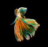 Colorful siamese fighting fish, betta fish isolated on black background. stock photo