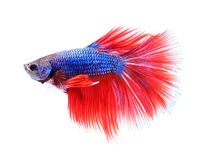 Colorful siamese fighting fish , betta isolated on white background. Stock Image