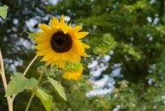 A Colorful Single Yellow Sunflower stock image
