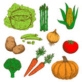 Colorful sketch of autumn fresh vegetables Stock Image