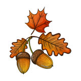Colorful sketch of an oak leaf and acorn Royalty Free Stock Images